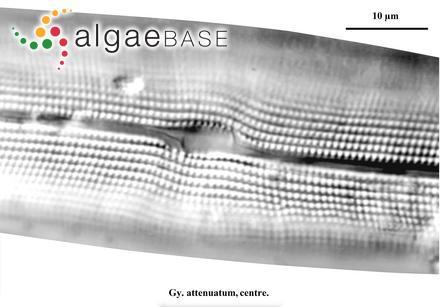Ectocarpus brachiatus Harvey