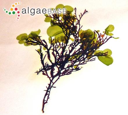 Laminaria saccharina var. caperata (De la Pylaie) Farlow