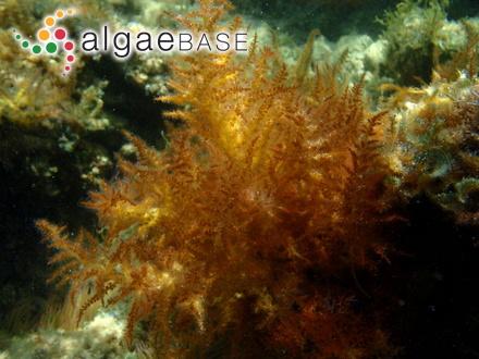 Fucus vesiculosus var. divaricatus (Linnaeus) Goodenough & Woodward