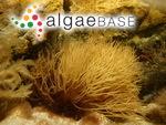 Sarconema scinaioides Børgesen