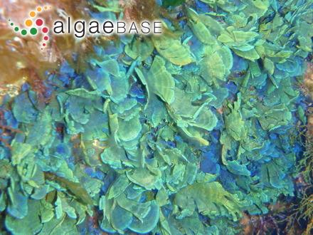 Fucus vesiculosus var. balticus (C.Agardh) Areschoug