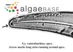 Gyrosigma rautenbachiae Cholnoky