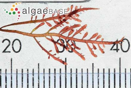 Neogoniolithon notarisii var. ptychoides (Foslie) Hamel & Me.Lemoine