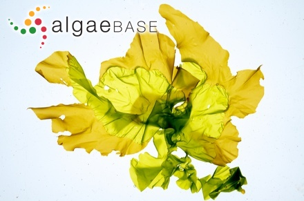 Sargassum ilicifolium var. acaraeocarpum Grunow