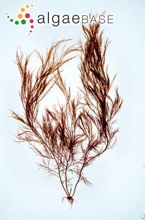 Cystoclonium purpureum (Hudson) Batters