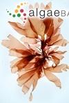 Fucus palmatus Linnaeus