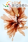 Rhodymenia palmata (Linnaeus) Greville