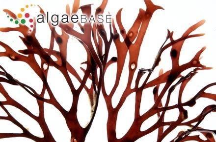 Spongites tunicatus D.L.Penrose