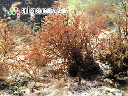 Phyllophora coccocarpa Montagne