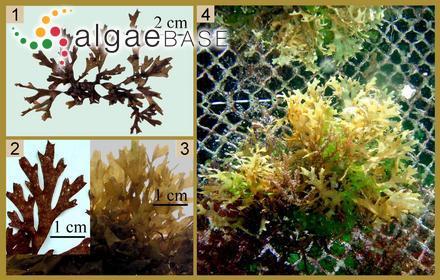 Spongoclonium orthocladum A.Gepp & E.S.Gepp