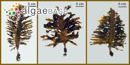 Delesseria epiglossum J.Agardh
