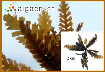 Delesseria salicifolia Reinsch