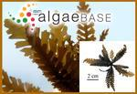 Sargassum horneri (Turner) C.Agardh
