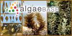 Sargassum oligocystum Montagne