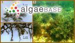 Sargassum pallidum (Turner) C.Agardh