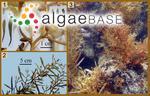 Sargassum swartzii C.Agardh