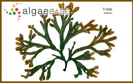 Cryptopleura crispata (J.D.Hooker & Harvey) Kützing