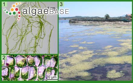 Myriogramme multilobata A.D.Zinova