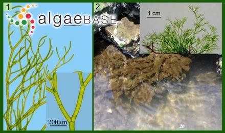Pteridium proliferum A.Gepp & E.S.Gepp