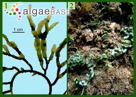 Levringia natalensis (Kützing) Kylin