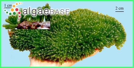 Myriocladia grandis Howe