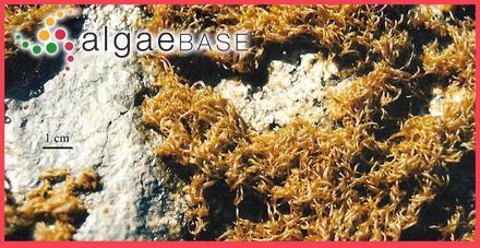 Colpomenia stellata (Børgesen) Børgesen