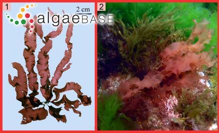 Rosenvingea fastigiata f. major (Reinbold) Egerod