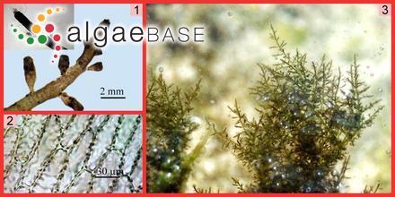 Chondria dasyphylla (Woodward) C.Agardh