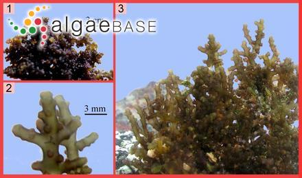 Cystophora uvifera (C.Agardh) J.Agardh