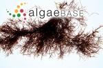 Sphaerococcus corneus var. pulchellus (Turner) C.Agardh