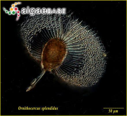 Pterocladia pectinata (A.Gepp & E.S.Gepp) A.H.S.Lucas