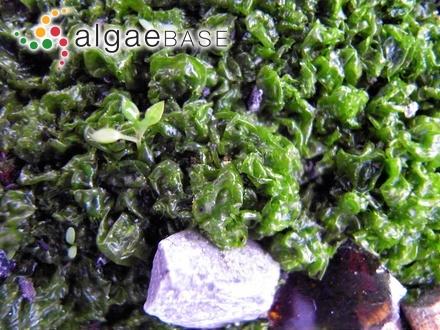Titanoderma hapalidioides (P.Crouan & H.Crouan) J.H.Price, D.M.John & G.W.Lawson