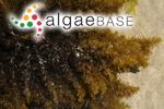 Sargassum fallax Sonder