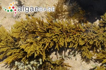 Oneillia elegans (J.V.Lamouroux) C.Agardh