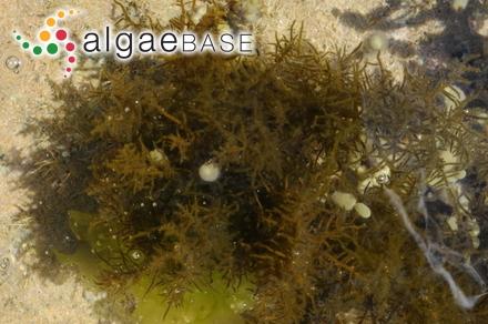 Membranoptera crispatula (Harvey) Kuntze