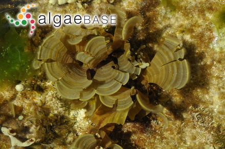 Aglaophyllum multipartita (J.D.Hooker & Harvey) Kützing