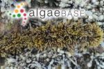 Cystophora torulosa (R.Brown ex Turner) J.Agardh