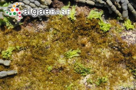 Scutarius serratus (Suhr) Kuntze