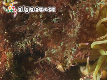 Phycodrys rubens var. lingulata (C.Agardh) Batters