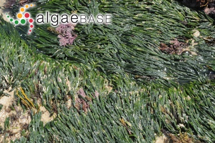 Eupogonium callithamnion (Sonder) Kützing