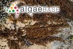 Fucus cephalornithos Labillardière