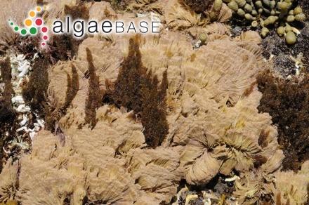 Baillouviana callithamnion (Sonder) Kuntze