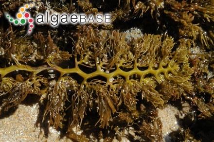 Cystophora subfarcinata (Mertens) J.Agardh