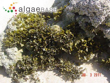 Polysiphonia subulifera var. templetonii Harvey