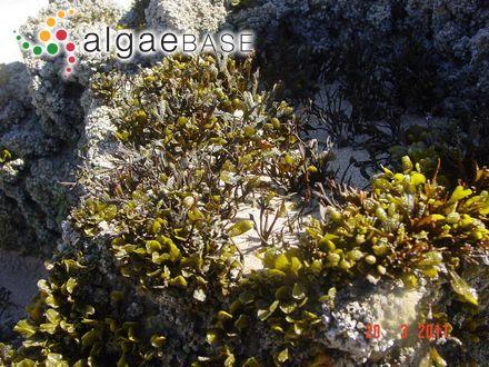 Polysiphonia elongata var. rosea (Greville) J.Agardh