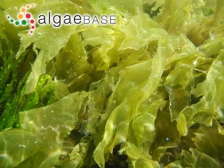Sargassum crispum C.Agardh