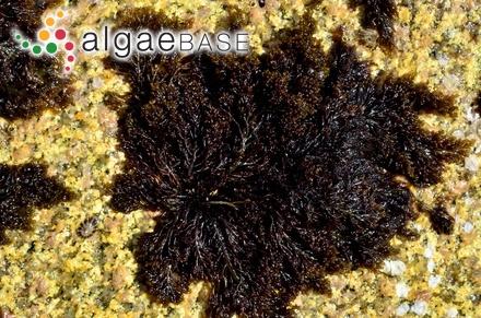 Sargassum latifolium var. zanzibaricum Grunow