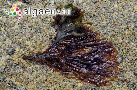 Sargassum lendigerum (Linnaeus) C.Agardh