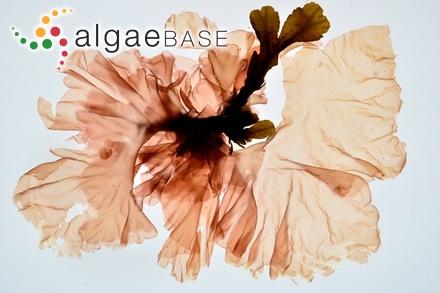 Sargassum linearifolium (Turner) C.Agardh