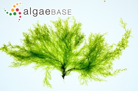 Sargassum merrifieldiae J.Agardh